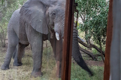 Elephant-out-window