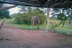 Giraffe-at-Adama